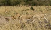 Cầy mangut đột phá vòng vây của đàn sư tử