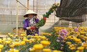 Bí quyết chăm 70 triệu bông cúc của chủ vườn hoa Đà Lạt