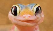 Loài tắc kè sa mạc chuyên 'uống nước' bằng mắt