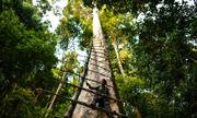 Đàn ông Malaysia trèo cây rừng cao 75 m trong đêm săn mật ong