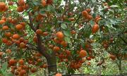 Vườn cam canh 10 ha chín đỏ rực trên đất Chí Linh