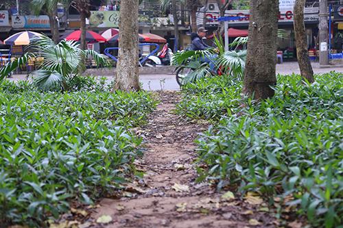 Vườn hoa quanh hồ Giảng Võ bị giẫm nát thành lối đi. Ảnh: Phạm Dự.
