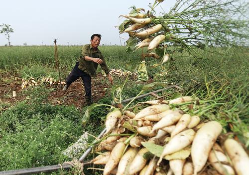 Hàng nghìn tấn củ cải đã bị người dân xã Tráng Việt, Mê Linh, Hà Nội nhổ bỏ. Ảnh: Ngọc Thành.