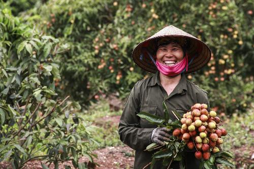 Nông dân ở Bắc Giang vui mừng vì thắng vụ vải chín sớm. Ảnh: Dương Tâm.