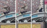 Chim ưng xé xác bồ câu giữa đường phố Mỹ