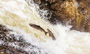 Hành trình vượt thác để sinh sản của cá hồi Đại Tây Dương