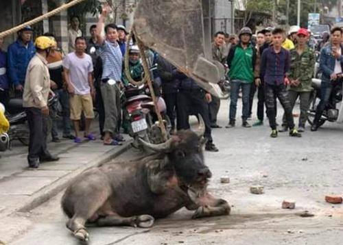 Người dân Tiên Lãngdùng máy xúc hạ gục con trâu xổng chuồng, chạy ra đường. Ảnh cắt từ video.
