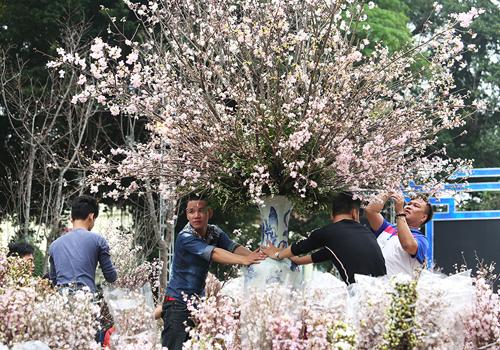 Lễ hội năm nay, số cây Hoa Anh đào trưng bày nhiều hơn so với năm trước. Ảnh: Ngọc Thành.