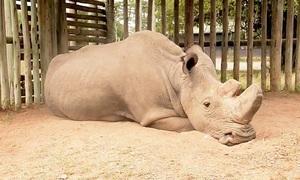 Tê giác trắng Bắc Phi đực cuối cùng trên thế giới qua đời