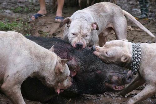Con lợn rừng bị thả giữa bầy chó săn.