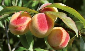 Nông dân Nhật tạo vỏ hồng cho đào bằng bạt hắt nắng