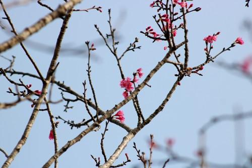 Những cây hoa anh đào chuôngchi chít nụ, hoa. Ảnh: Giang Chinh