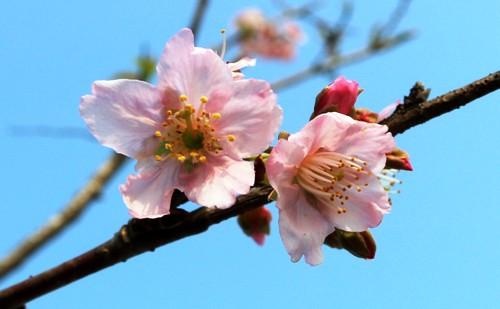 Sau một năm trồng tại thành phố Cảng, những cây hoa anh đào được đưa từ Nhật Bản vềđang ra hoa. Ảnh: Giang Chinh