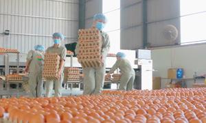 Hệ thống nhặt trứng, xử lý phân gà tự động ở Bình Thuận