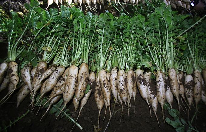 Nông dân trắng đêm thu hoạch khi củ cải được 'giải cứu'