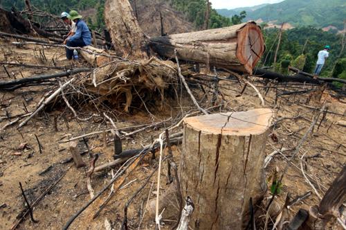 Những cây gỗ tự nhiên xã Tiên Lãnh bị đốn hạ lấy đất trồng keo. Ảnh:Đắc Thành.