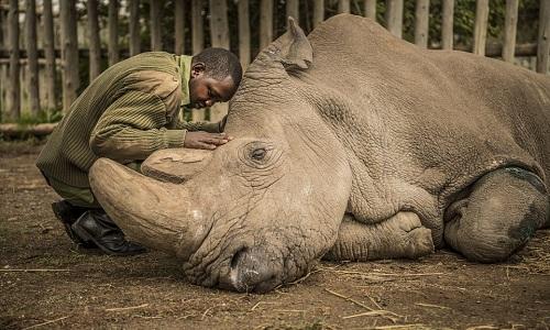 Sudan hấp hối dưới bàn tay vỗ về của một cán bộ chăm sóc nó tại khu bảo tồn. Ảnh: National Geographic.