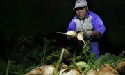 Nông dân Hà Nội thâu đêm thu hoạch củ cải