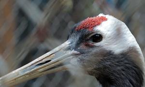 Cặp Sếu đầu đỏ quý hiếm Nhật Bản tặng cho vườn thú Hà Nội