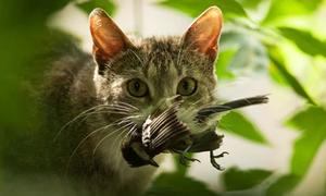 Thủ phạm giết hàng trăm triệu con chim mỗi năm ở Australia