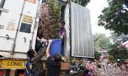 Hoa anh đào được bảo vệ trong xe container chờ khai mạc lễ hội