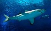 Lý do các thủy cung không thể nuôi cá mập trắng lớn