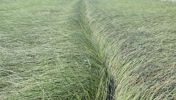 Ngôi làng miền Tây bỏ lúa, trồng lác thu nhập cao hơn năm lần