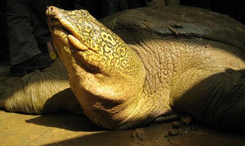Cá thể Giải Sin-hoe (Rafetus swinhoei) từ cuộc giải cứu vào tháng 11 năm 2008, khi đập Đồng Mô bị vỡ. Ảnh: Timothy McCormack ATP/IMC.