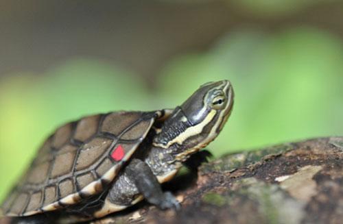 Một cá thể rùa Trung bộ non (Mauremys annamensis) được nuôi tại Trung tâm bảo tồn rùa, tại Vườn Quốc gia Cúc Phương. Ảnh: Phạm Văn Thông ATP/IMC