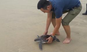 Người đàn ông giải cứu rùa biển có trong sách đỏ