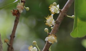 Gốc bạch mai 300 tuổi nở hoa ở miền Tây