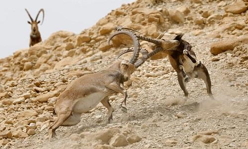 Sơn dương Nubia phải chiến đấu nếu muốn giao phối với con cái. Ảnh: AFP.