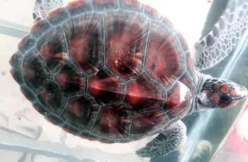 Cá thể rùa biển nặng 6,3 kg được anh Tân chăm sóc một tuần trong bể kính. Ảnh: Đắc Thành.