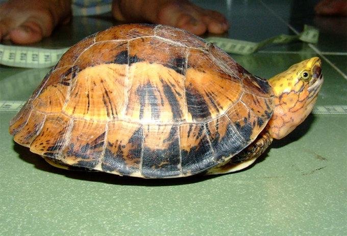 Những loài rùa Việt Nam nguy cơ tuyệt chủng cao