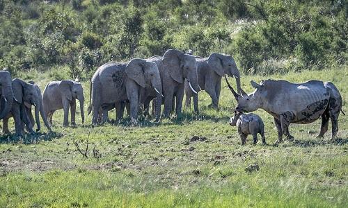 Tê giác mẹ không tỏ ra sợ hãi dù đàn voi có số lượng áp đảo. Ảnh: Magnus News.