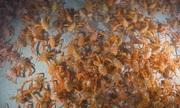 Đàn cua cá ngừ lũ lượt di cư dọc đáy biển Mỹ