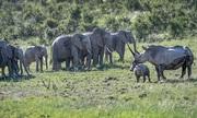 Tê giác mẹ đuổi cả đàn voi để bảo vệ con non