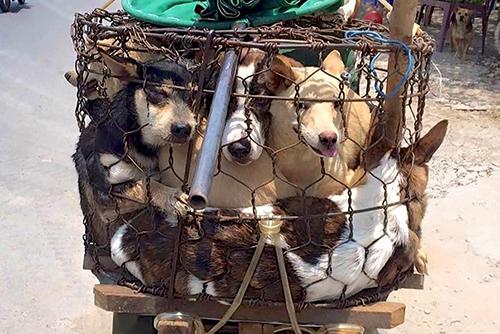 Những chú chó bị nhồi nhét trong những chiếc lồng chật hẹp để đưa tới các mổ. Ảnh: Carters News