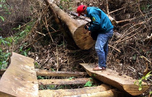 Những cây gỗ cổ thụ biđốn hạ.Ảnh: Vương Hùng.