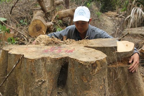 Một cây gỗ hơn hai người ôm mới xuể bị đốn hạ. Ảnh: Vương Hùng.