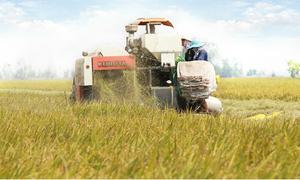 Doanh nghiệp bao tiêu 20.000 ha lúa Nhật cho nông dân miền Tây