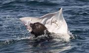 Hải cẩu xé xác cá đuối trên biển