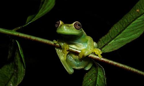 Loài ếch mới được phát hiện ở biên giớiVenezuela và Colombia. Ảnh: AFP.