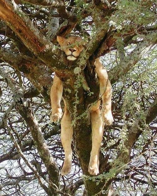 Hôm nay sư tử mệt rã rời, dựa vào cây ngủ quên đời được không?