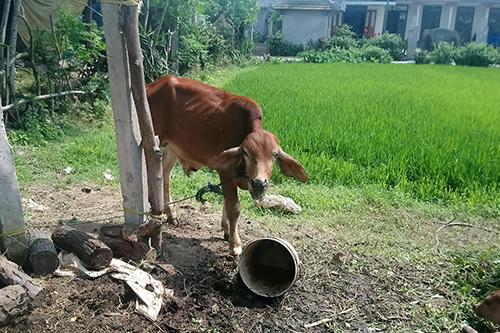 Vị phó chủ tịch xã Triệu Độ nói chỉ có hai tiếng để phân bổ 10 con bò, nên không kịp thông báo rộng rãi cho toàn dân. Ảnh: Ng.V