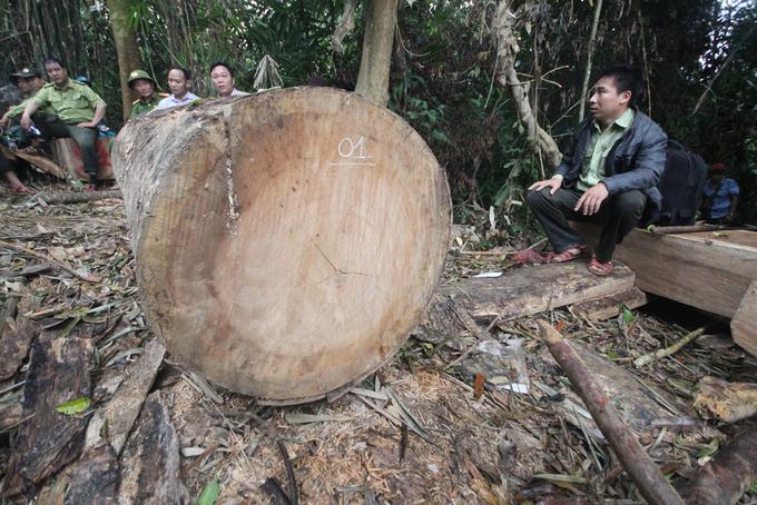 Rừng phòng hộ Quảng Nam bị xẻ thịt như thế nào