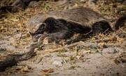 Lửng mật giết trăn đá châu Phi