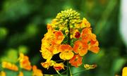 Trung Quốc tạo ra 17 màu hoa cải khác nhau