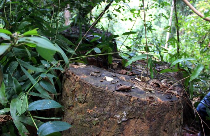 Quảng Nam truy tìm kẻ phá rừng gỗ lim xanh hàng trăm năm tuổi