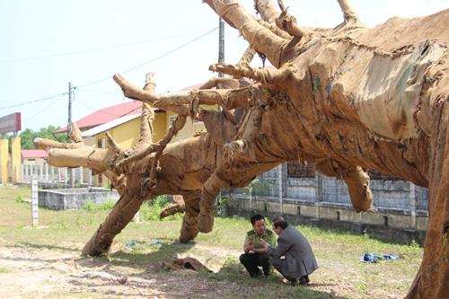 Kiểm lâm kiểm tra chủng loại, nguồn gốc ba cây cổ thụ trên xe đầu kéo bị phạt gần 82 triệu đồng - 1